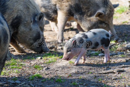 happy baby wild boar watched by
