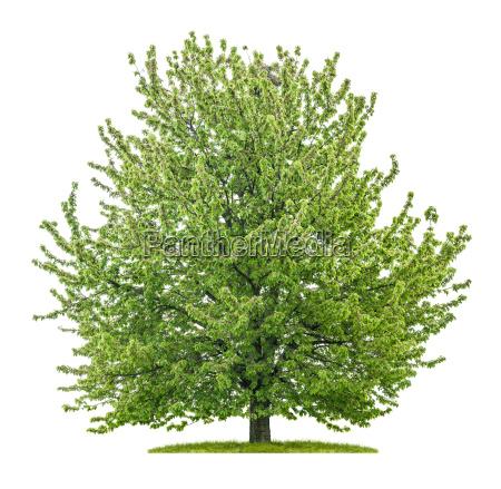 grosser kirschbaum vor einem weissen hintergrund