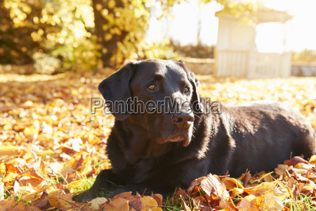aelterer schwarzer labrador hund der durch