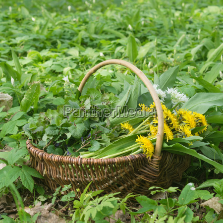 basket with collected wild herbs in