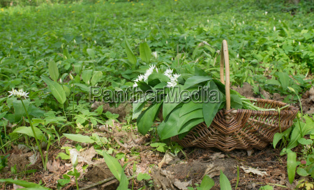 basket with collected wild garlic in