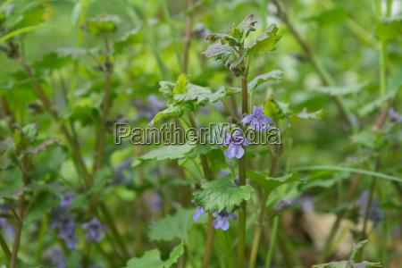 blue flowering flowering ground ivy