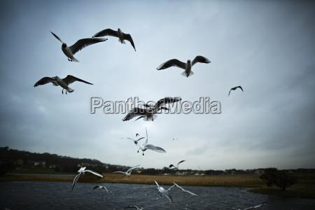 flock, von, möwen, fliegen, in, der - 21613893