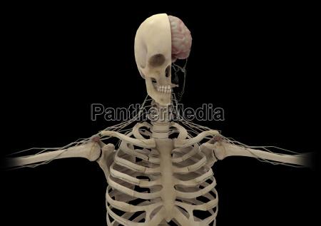 menschliches skelett mit transektionaler sicht des