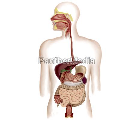 anatomie des menschlichen verdauungssystems