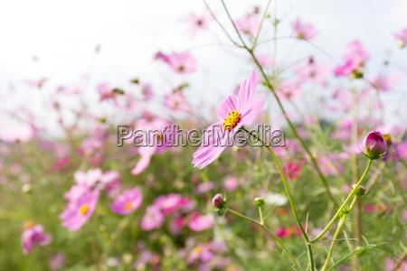 pink cosmos flower meadow