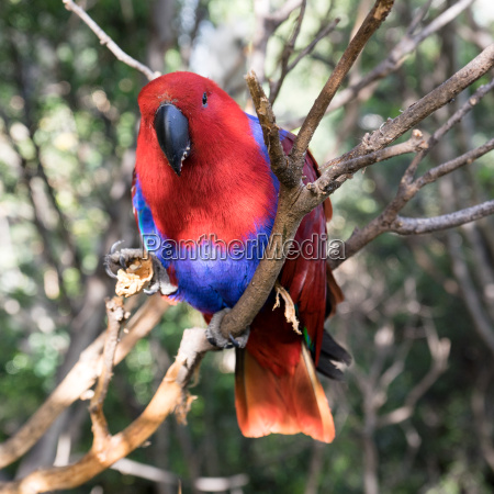 red parakeet on a branch