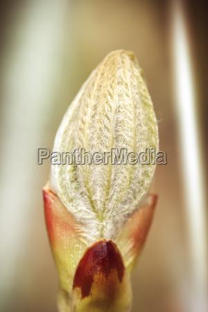 horse chestnut leaves bud