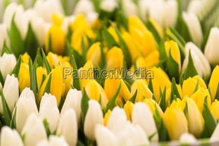 close up of fresh tulips