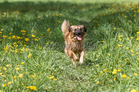 crossbreed brown dog running at the