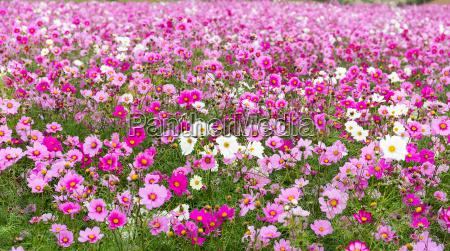 beautiful cosmos flower garden