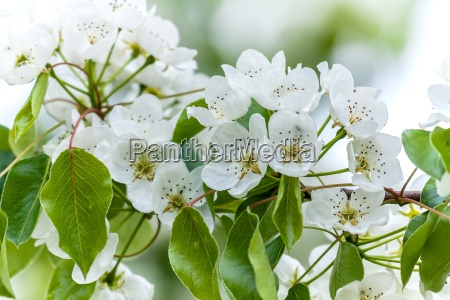 european wild pear pyrus pyraster tree