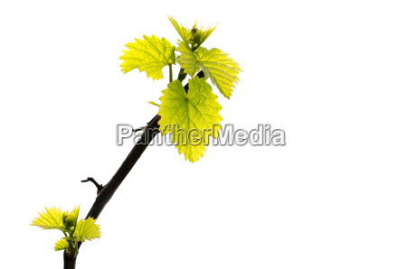 branch of grape vine with fresh