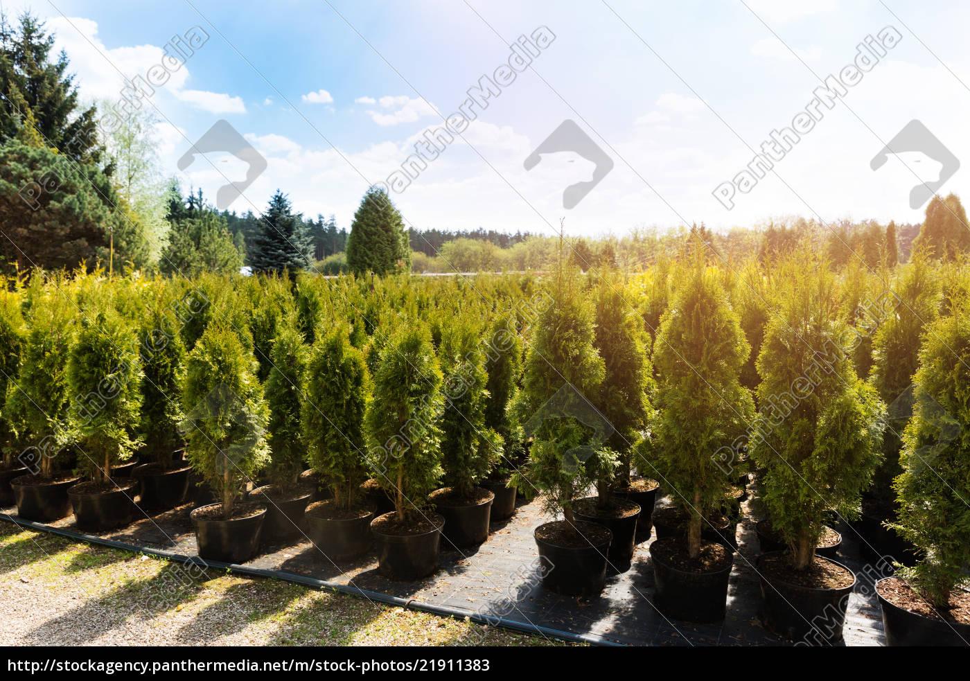 Lizenzfreies Bild thuja bäume im pflanzen garten