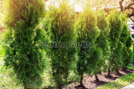 evergreen hedge of thuja trees