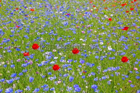 blumenwiese mit kornblumen und mohnblumen