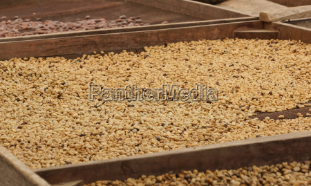 trocknung von kakao und kaffeebohnen plantage