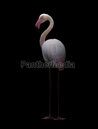 groesserer flamingo im dunkeln