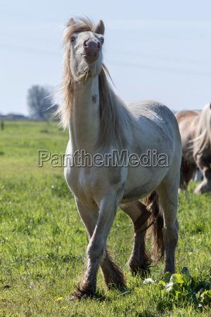 tinker cremello in the pasture