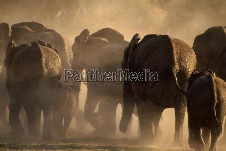 afrikanische elefanten laufen loxodonta africana chobe