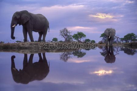 afrikanische elefanten am waterhole loxodonta africana