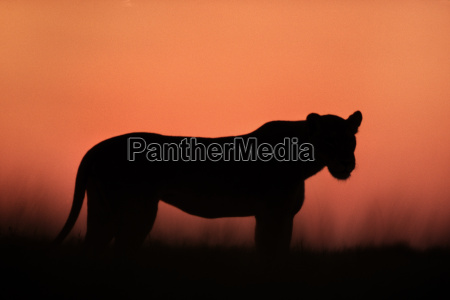 loewin in der daemmerung panthera leo