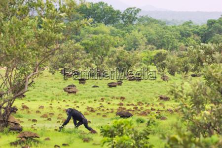 schimpansen die durch savanne pan troglodytes