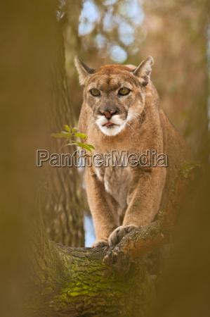 florida panther im baum puma concolor