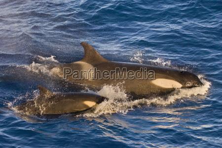 orcas orcinus orca suedgeorgien