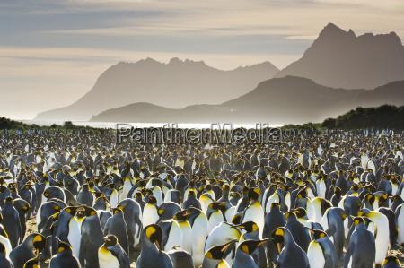 koenigspinguinkolonie aptenodytes patagonicus suedgeorgieninsel