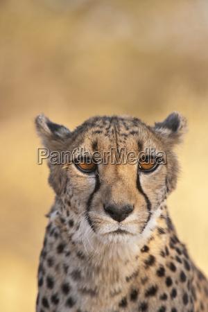 cheetah acinonyx jubatus cheetah conservation fund
