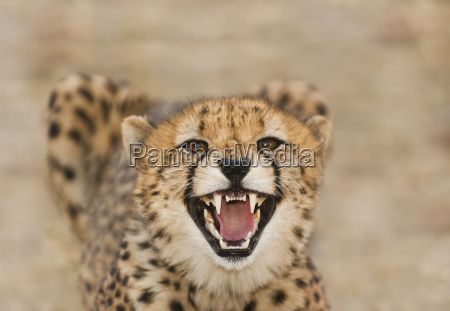 gepardenknurren acinonyx jubatus cheetah conservation fund