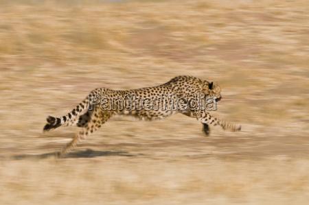 gepard laufend acinonyx jubatus cheetah conservation