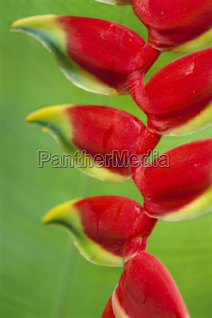 heliconia bracts atlantic forest brazil