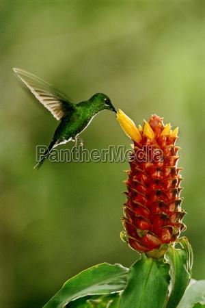 grün-gekrönter, glänzender, kolibri, heliodoxa, jacula, speisend, auf, ingwerblume, costus - 22028829