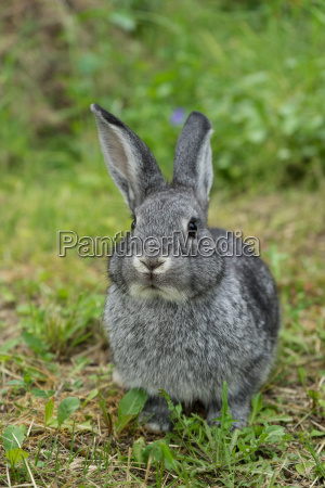 gray rabbit on the meadow