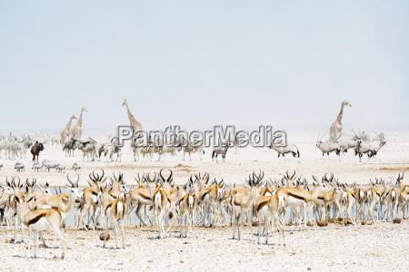 namibia etosha national park wild animals