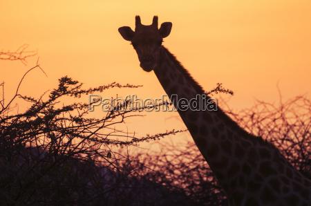 namibia etosha national park giraffe at