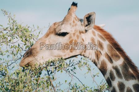 namibia etosha national park eating giraffe