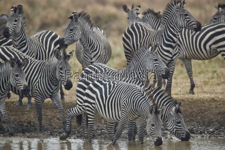 group of common zebra plains zebra