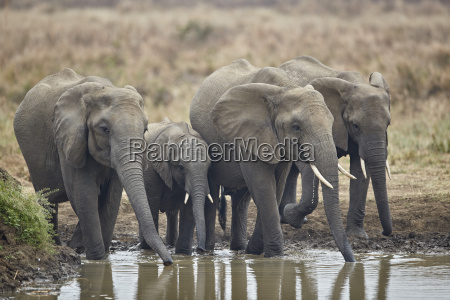 african elephant loxodonta africana drinking mikumi