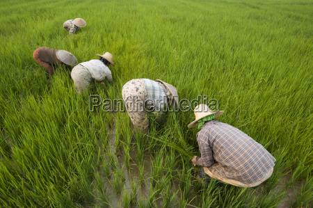 women clear grass from rice paddies