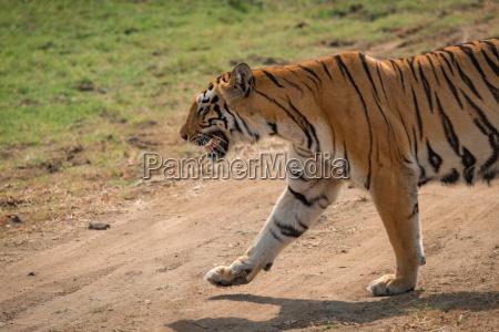 close up of bengal tiger crossing