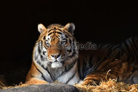 sibirisk tiger ser ud af den