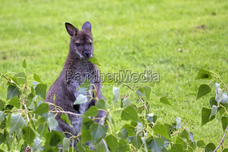 kangaroo red necked wallaby in the