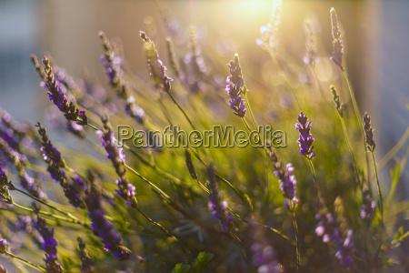 blume pflanze gewaechs feld sonnenlicht lavendel
