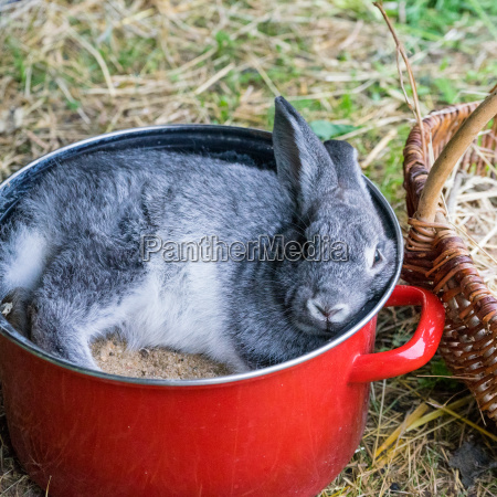 a gray rabbit lies in a