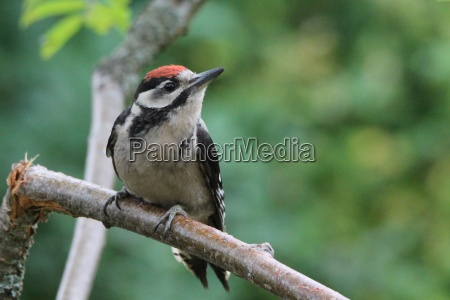 closeup of a great spotted woodpecker