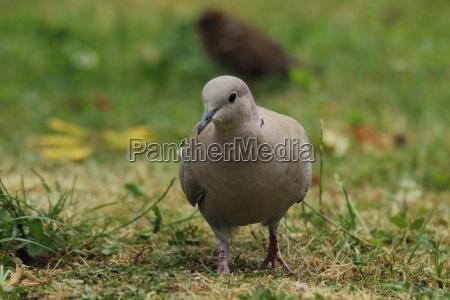 eurasian, collared, dove, in, the, grass - 22444765