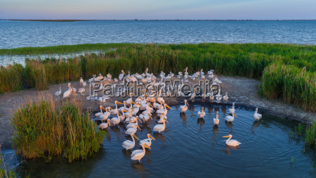 weisse pelikane pelecanus onocrotalus im donau